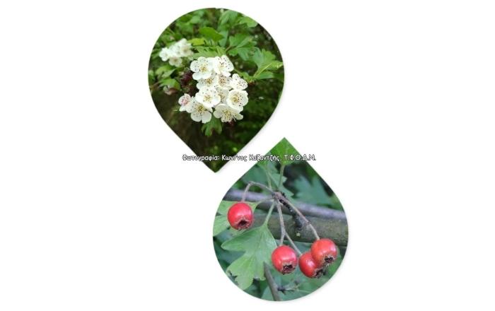 Δενδρώδη / θαμνώδη μικρότερης οικονομικής σημασίας: Ο Κράταιγος ή Τρικουκκιά ή Μουρτζιά (Crataegus spp. L.)