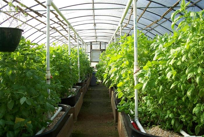 Γιατί, μάλλον, τα φυτά αναπτύσσονται καλύτερα στο θερμοκήπιο;