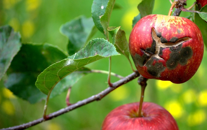 Οι απαραίτητες επεμβάσεις & καλλιεργητικά μέτρα για την προστασία των Μηλοειδών αυτή την περίοδο