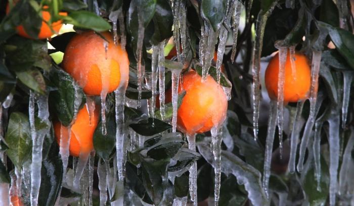 Προστασία Εσπεριδοειδών που έχουν πληγεί από παγετό