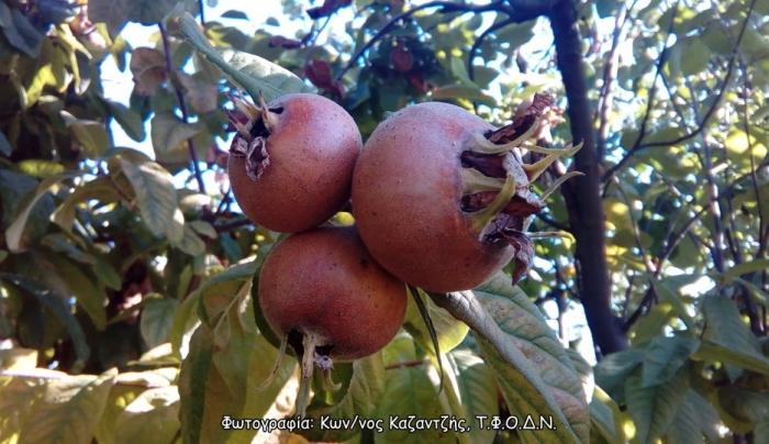 Δενδρώδη μικρότερης οικονομικής σημασίας: Η Μουσμουλιά ή Μεσπιλέα η γερμανική (Mespilus germanica L.)