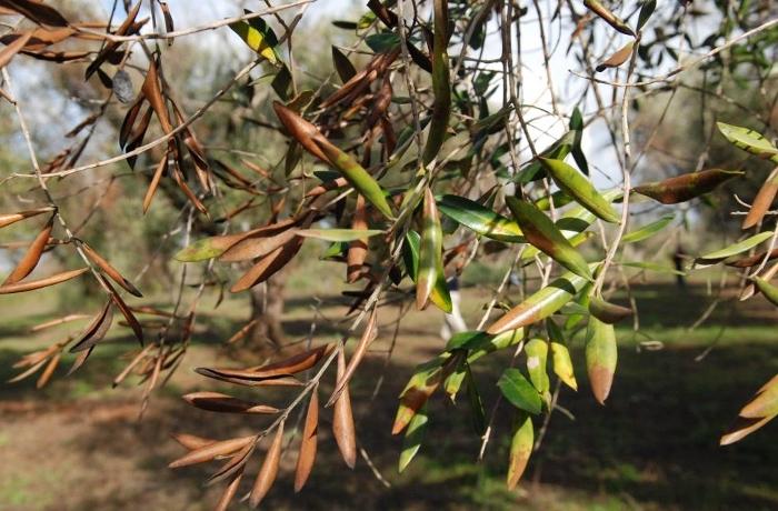 """Σύνδρομο ταχείας καταπτώσεως της Ελιάς"""": Μια νέα καταστρεπτική ασθένεια της  Ελιάς - Farmacon - Blog - Η #1 online αγροτική εφαρμογή"""