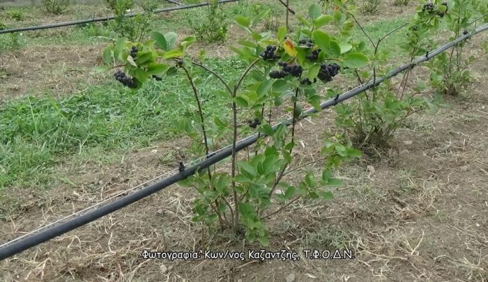 Δενδρώδη / θαμνώδη μικρότερης οικονομικής σημασίας: Η Αρώνια ή Αρωνία (Aronia spp.)