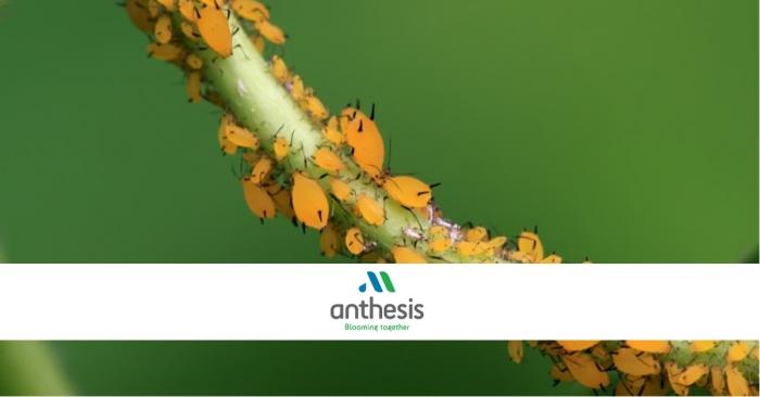 Anthesis: Καταπολεμήστε τις αφίδες με Βιολογικούς παράγοντες
