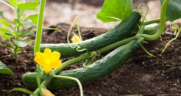 Θρίπας, Αφίδες και Τετράνυχος σε καλλιέργειες Υπαίθριου Αγγουριού