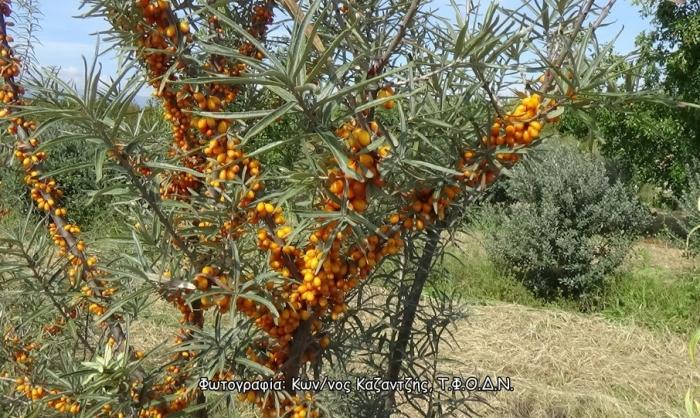 Δενδρώδη / θαμνώδη μικρότερης οικονομικής σημασίας: Το Ιπποφαές (Hippophae rhamnoides L.)