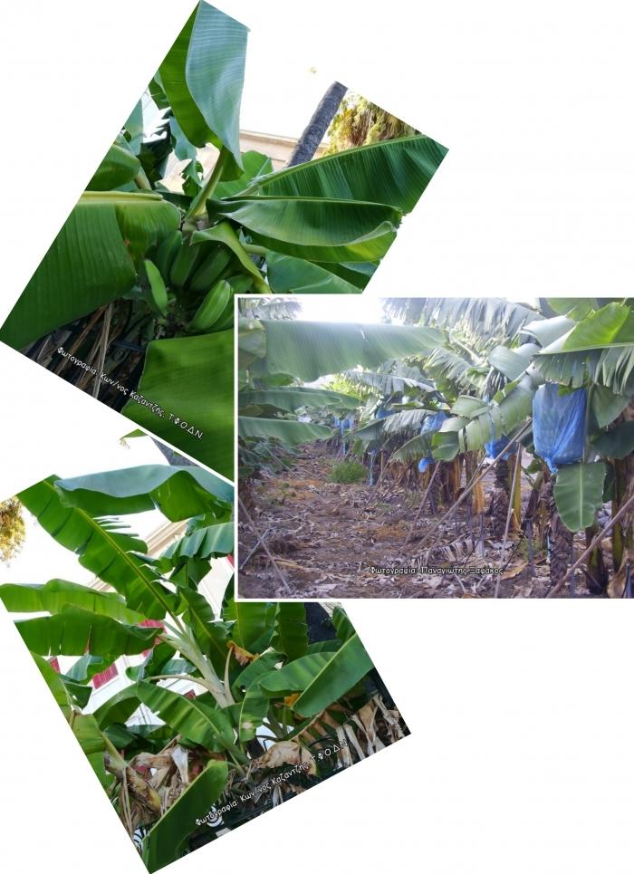 Δενδρώδη / θαμνώδη μικρότερης οικονομικής σημασίας: Η Μπανανιά ή Μούσα (Musa spp. L.)