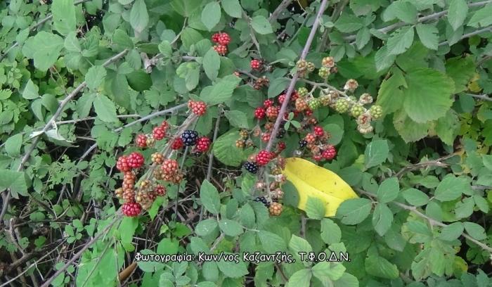 Δενδρώδη / θαμνώδη μικρότερης οικονομικής σημασίας: Η Βατομουριά ή Ρούβος ή Βάτος (Rubus spp. L.)